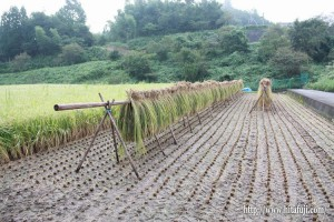 古代米稲刈り25.9.26