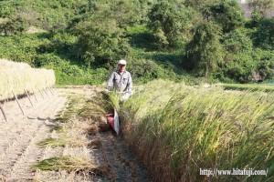 古代米稲刈り25.9.27