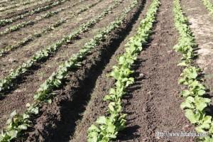 高菜植え作業25.10.30