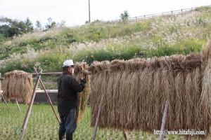 古代米脱穀作業①