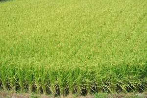 稲穂刈り入れ前の田んぼ