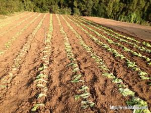 高菜植え①25.11.2