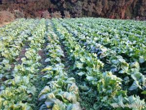 畑に栽培している高菜畑