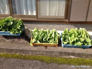 高菜収穫26.1.11 ①