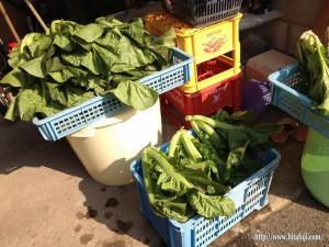 高菜収穫26.1.11 ②