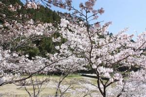 東有田公民館裏桜②