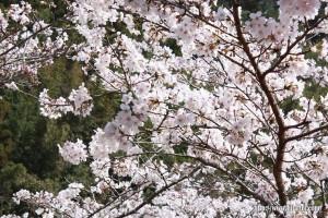 東有田公民館裏桜26.3.28①