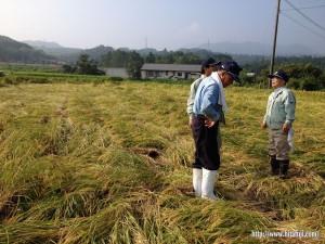 稲被害調査②25.9.13