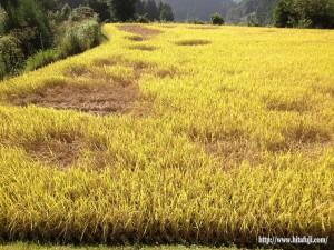 稲被害調査①25.9.13