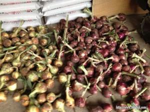 収穫したタマネギ26.6.1