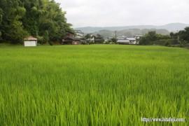 穂が出始めた古代米