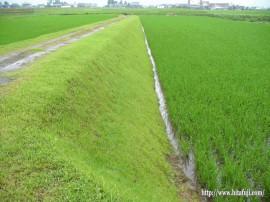 畦畔緑化②