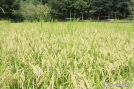 順調に生育している稲①