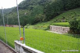 順調に生育している稲②