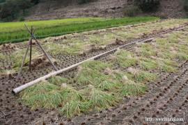 古代米稲刈り①26.10.1