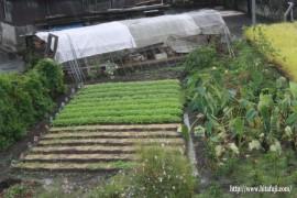 高菜の苗26.10.25