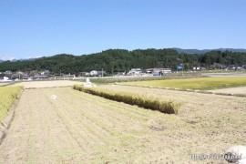 稲刈り②26.10.18