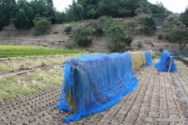 古代米稲刈り②26.10.1