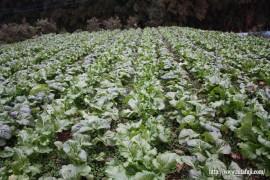 昨年の高菜栽培