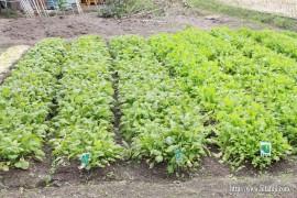 高菜の苗①