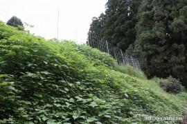 本村畑草刈り前①