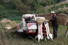 古代米脱穀作業27.10.21