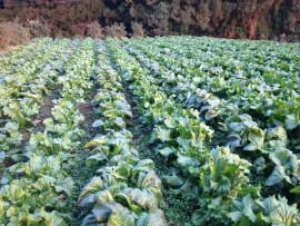 畑に植えてある高菜