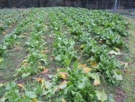 畑の高菜①