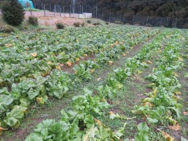 畑の高菜②